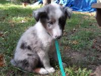 Febe is a beautiful blue merle sheltie. She was born