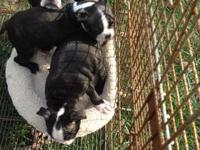 CKC female Boston Terrier. She will be ready for her
