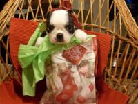 My mother has 3 Ckc female Boston terrier puppies for
