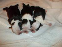 My mother has 3 female ckc boston terrier puppies for