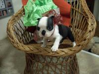 My mother has 3 Ckc female Boston terrier's puppies