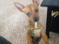 Choc/White, Female, CKC registered Chihuahua Puppy who