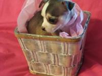 6 week old CKC female chihuahua puppy. Ready for her