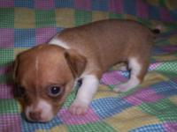 Female chihuahua red sable with white short coat. Ckc