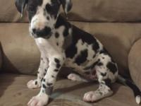 Beautiful CKC Great Dane female Harlequin puppy.
