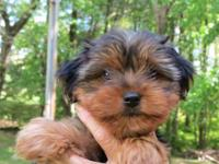 Adorable teddy bear Morkie female looking for her