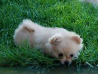 CKC FEMALE POMERANIAN PUPPY. CUTE, CUDDLY AND SWEET AS