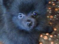 Super adorable sweetheart Black female CKC registered