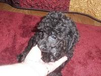 CKC registered male and female poodles born on 7-7-13.