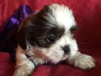 CKC female Shih Tzu puppies born on 3-19-15 UTD on