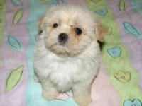 I have 2 CKC Cream female Shihpoo's they have been