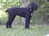 CKC Female Standard Poodle We are re-homing our 16