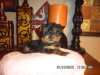 CKC REGISTERED Yorkie Puppies available now, female