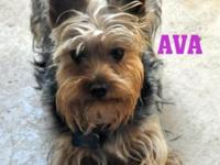 we have a female yorkie pup dob 6-10-15 for sale. she