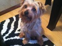 Two year old female Blue & Gold CKC Yorkshire Terrier.