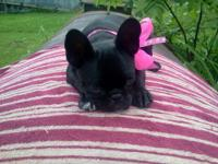 CKC Frenchie Pug puppy Shadow is a playful and clownish