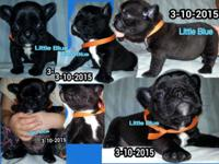 CKC Frenchie Pug Puppies mom is AKC French Bulldog Dad