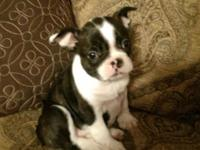 Super cute Frenchton little girl puppy.....current Fl