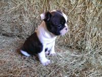 CKC female Frenchton, charming as a button and filled