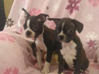 I have 2 female Frenchton puppies 9 weeks old they are