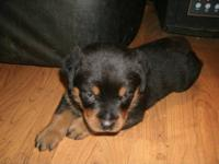 8 week old CKC German Rottweiler puppies, they have had