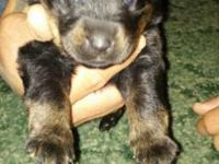 I have 4 males puppies offered asking $400.00 each for
