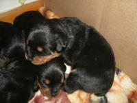 CKC registered German Rottweiler puppies for sale, just