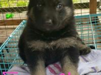 ckc german shepeard puppy for sale located in new