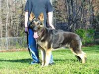 CKC German Shepherd female for sale. Due into heat