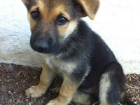 Beautiful CKC registered German Shepherd puppies. Only