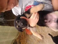 Ckc German shepherd puppies black and tan male's and.