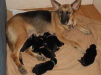 CKC registered German Shepherd Puppies 3 females