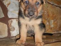 I have a female German shepherd young puppy still