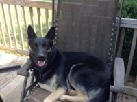 Guard dog Kennels presently has 5 CKC German Shepherd