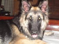 long coat CKC pure bred German Shepherd Puppies come