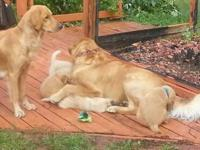 I have 3 male adorable Golden Retriever puppies that