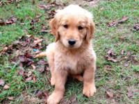 Four male CKC golden retriever puppies, 8weeks old.