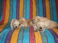 Golden Retriever puppies for sale. 6 boys and 2 girls.
