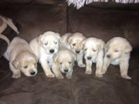 We have one male golden retriever puppy left out of a