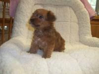 I have 3 golden yorkiepoo puppies for sale. I have 1