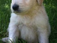 Absolutely precious CKC registered Goldendoodle puppies