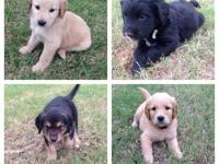 CKC goldendoodle puppies. Mother is an AKC and CKC