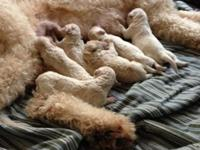 FOR SALE - F1bb Goldendoodle Puppies - F1b x poodle,