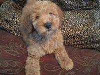 We have beautiful f1b's goldendoodles that are ready