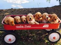 Beautiful Goldendoodle Puppies! Puppies will be ready