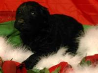 F1 CKC Goldendoodle young puppies. They all have black