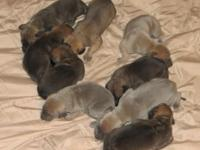 Winnie and Hachi have nine stunning puppies! The litter