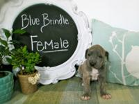 I have 2 fawn males, a dark brindle male and a blue