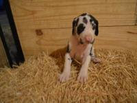 Beautiful C.K.C Great Dane puppies for Sale. Born May