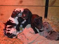 CKC Registered Great Dane Puppies available. Birthed